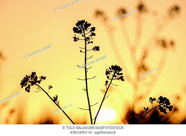 brizna de colza a contraluz, Sencelles, Mallorca, balearic islands, spain, europe