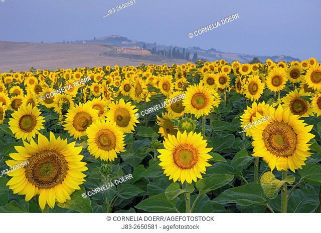 Field of Sunflowers, San Giovanni d'Asso, Tuscany, Italy