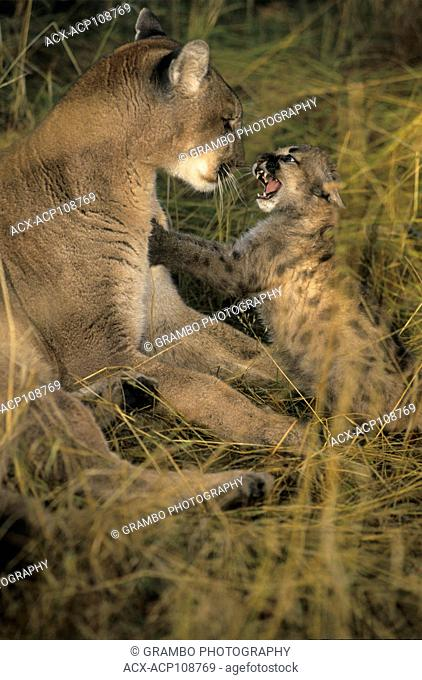 Cougar and snarling 2.5 month old kitten, Puma concolor, Montana, USA