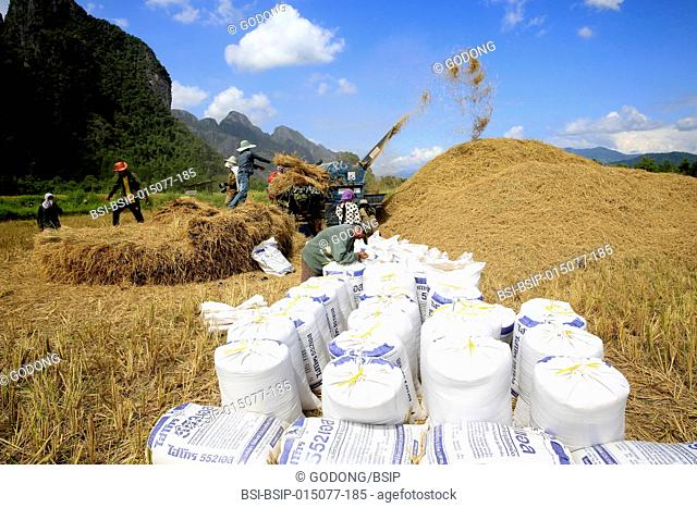 Agriculture. Rice field. Lao farmers harvesting rice in rural lanscape