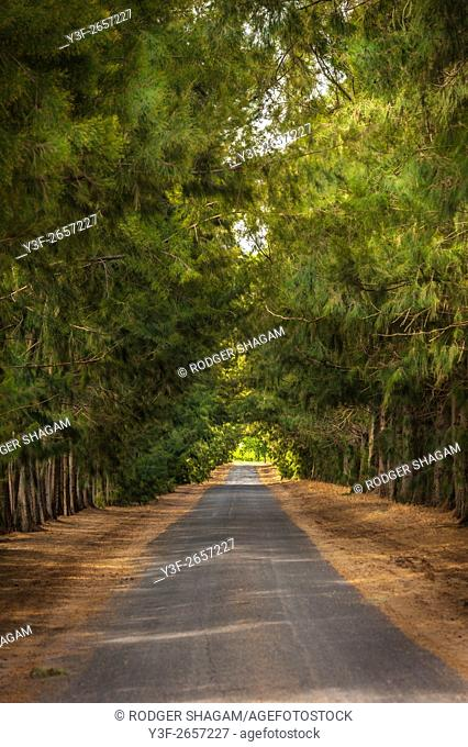 Avenue of trees recedes into the distance forming a tunnel with the tree canopy. Western Cape Province, South Africa