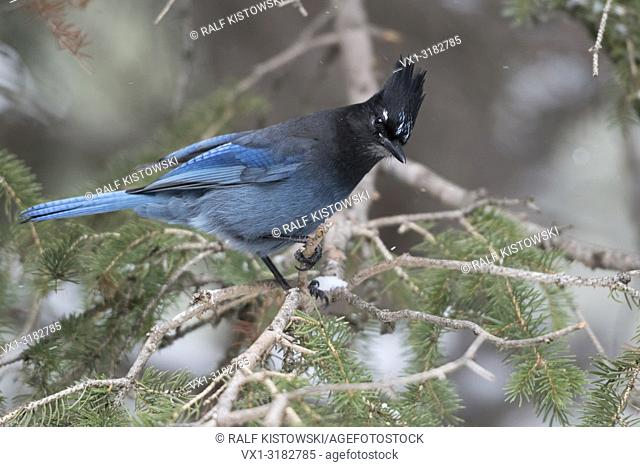Steller's Jay ( Cyanocitta stelleri ) in winter, perched in a conifer tree, watching down to the ground, curious, attentive, Yellowstone NP, USA
