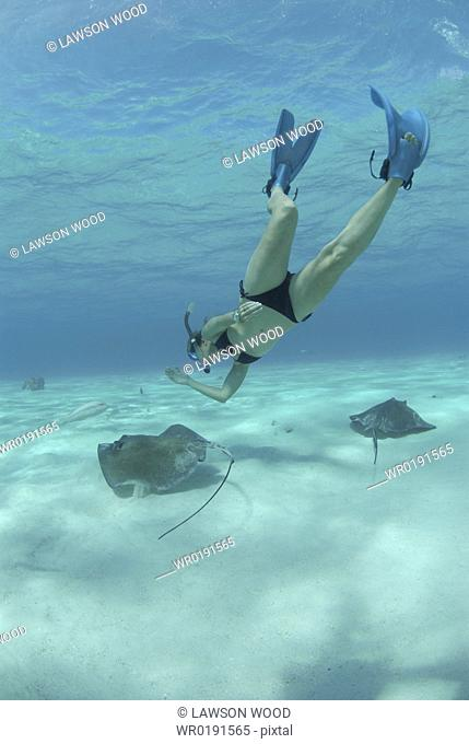 Snorkeller swimming down to Southern Stingrays Dasyatis americana Stingray City Sandbar, Grand Cayman Island, Cayman Islands, Caribbean