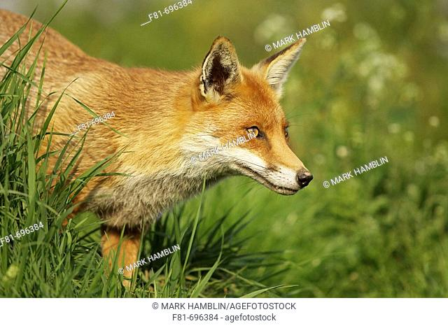 Red fox - vulpes vulpes - close-up of dog on prowl  West Sussex  May