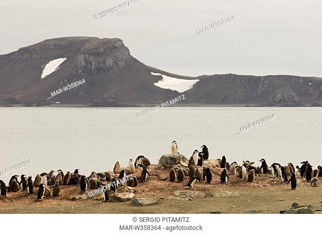 Antarctica, South Shetlands Islands, Aitcho Island, Chinstrap Penguins