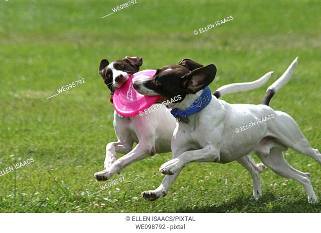 Two identical dogs grabbing onto the same frisbee while running across a field symmetrically