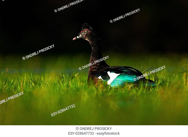 Muscovy Duck, Cairina moschata, in the water green grass