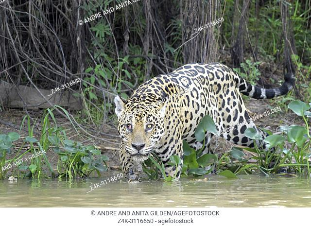 Jaguar (Panthera onca) stalking on riverbank, looking at camera, Pantanal, Mato Grosso, Brazil