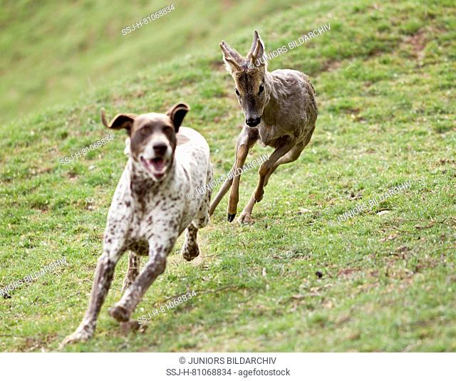 Adult German Shorthaired Pointer being chased by Roe Deer buck. Germany