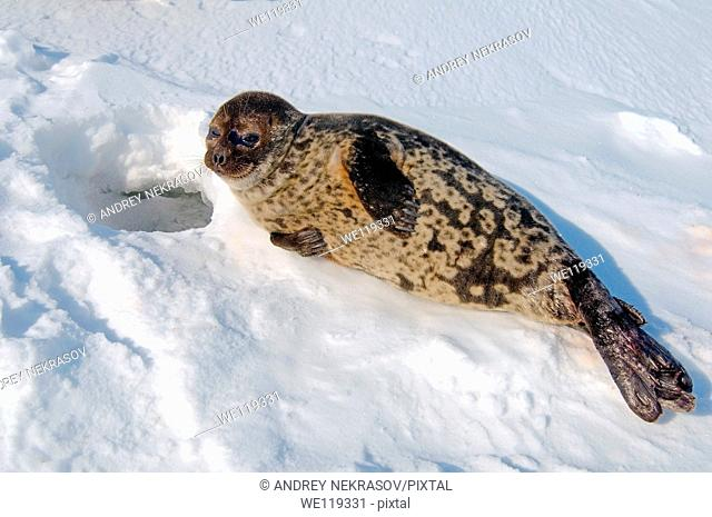 ringed seal Pusa hispida Arctic, Russia, Russian north, Kareliya, White sea