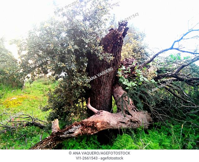 Fallen holm oak, Cerro La Cabeza, near Escurial, Cáceres province, Extremadura, Spain