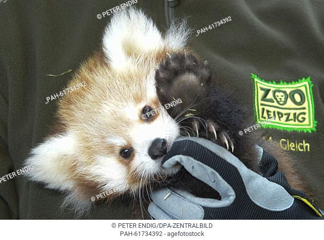 A two-month old baby girl panda is held by a zoo keeper in the Leipzig zoo, Leipzig, Germany, 18 September 2015. The young animal is being immunised on the same...