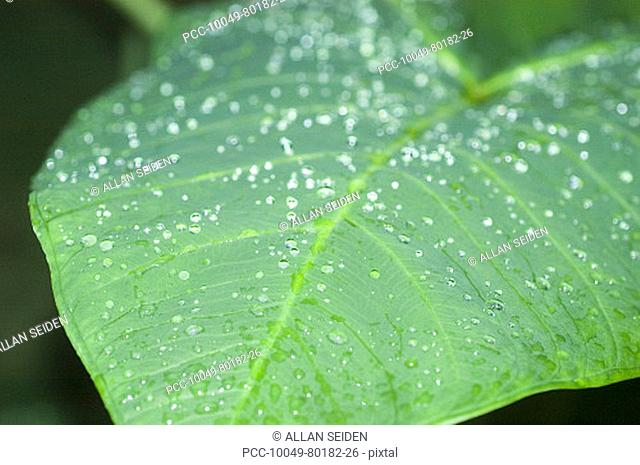 Close-up of taro leaf covered with raindrops