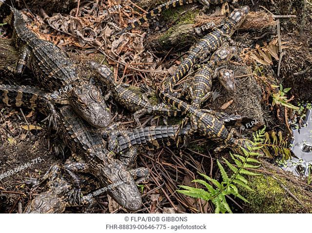 American alligator, Alligator mississippiensis, gator, common alligator