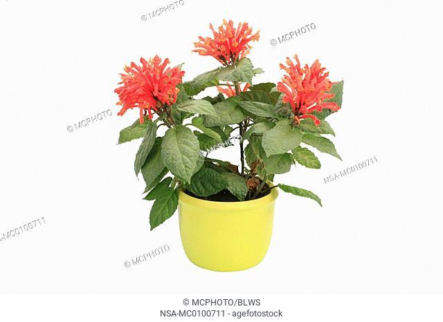 Scutellaria costaricana, Scutellaria costaricana, Scutellaria mociniana, Costarican skullcap
