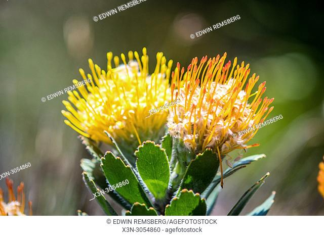 A close-up of pincushion protea at the Kirstenbosch Botanical Gardens in Cape Town, South Africa