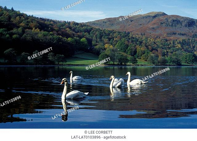 Lake District national park. Lake. Four swans. Calm water. Reflections. Hills,Silver Howe