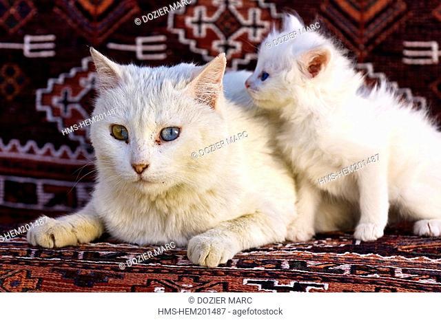 Turkey, Eastern Anatolia, Van, Turkish angora Van cats with different-coloured eyes