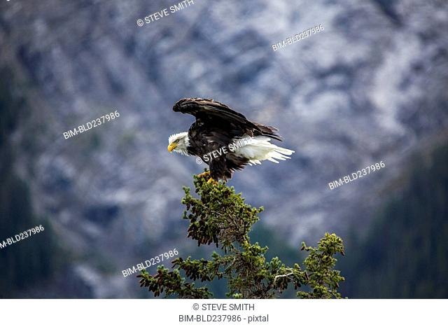 Bald eagle spreading wings on tree branch