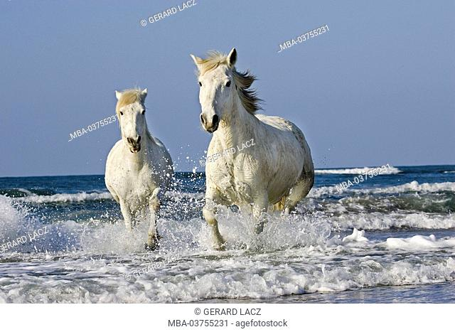 Camargue Horse, Galloping on Beach, Saintes Maries de la Mer in South East of France