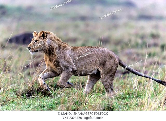 Male lion running to play with other pride members, Masai Mara National Reserve, Kenya