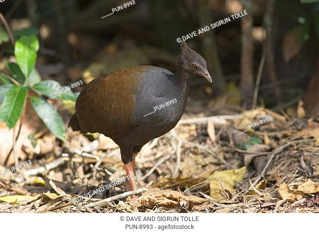 Orange-footed scrubfowl Megapodius reinwardt