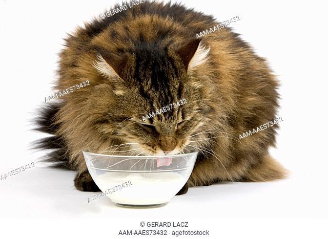 Angora Domestic Cat, Male drinking Milk against White Background