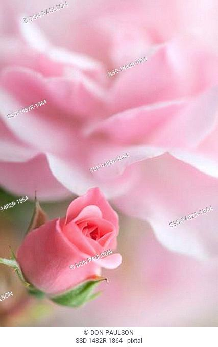 Close-up of a Bonica Rose bud