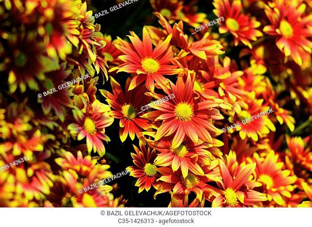 Chrysanthemum garden artist