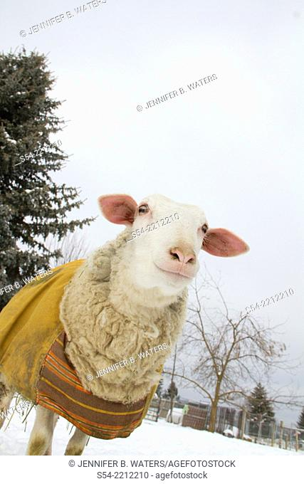 An East Fresian sheep wears a coat to keep her wool clean so it can be spun into yard. Eastern Washington State, USA