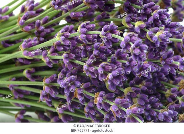 Lavender (Lavandula angustifolia, Lavandula officinalis, Lavandula vulgaris), medicinal plant