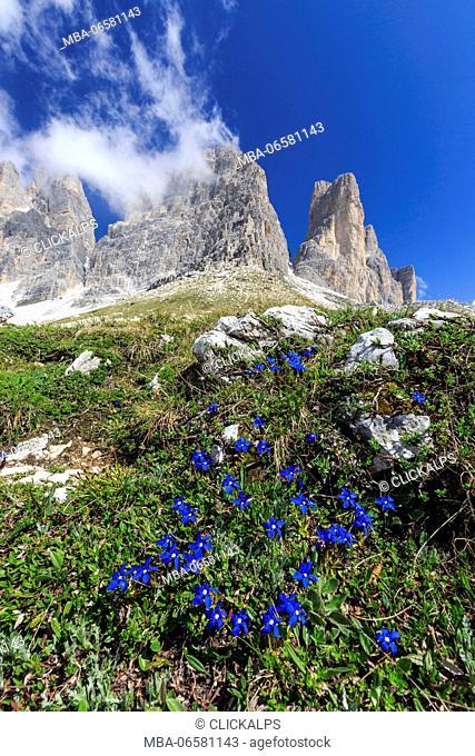 Gentians bloom around the Three Peaks of Lavaredo, Sesto Dolomites Trentino Alto Adige Italy Europe