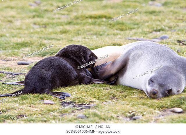 Antarctic Fur Seal Arctocephalus gazella pup - in its dark lanugo birth coat - nursing on the island of South Georgia, southern Atlantic Ocean As its name...