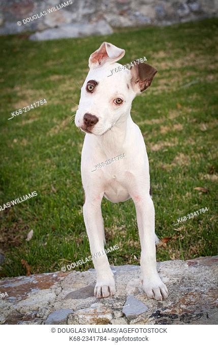 Pit bull cross breed