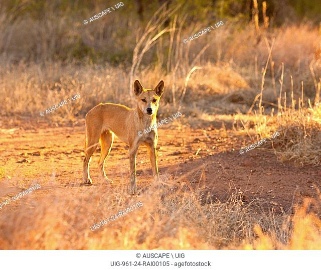 Dingo, Canis dingo, standing still, looking at photographer. Mornington Wildlife Sanctuary, central Kimberley, Western Australia, Australia