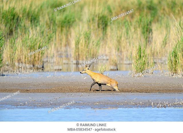 Roe deer, Capreolus capreolus, Male, going through Swamp, Illmitz, Lake Neusiedl, Burgenland, Austria
