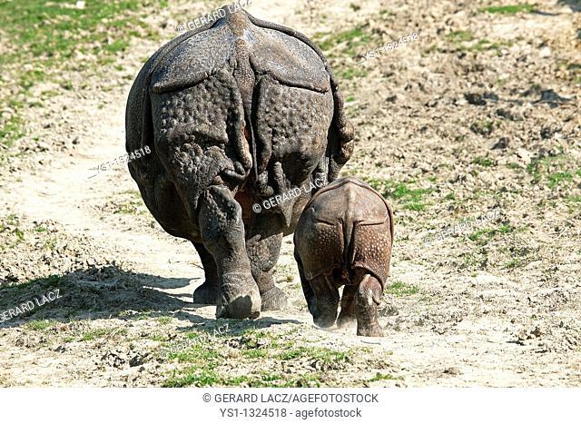 Indian Rhinoceros, rhinoceros unicornis, Mother with Calf