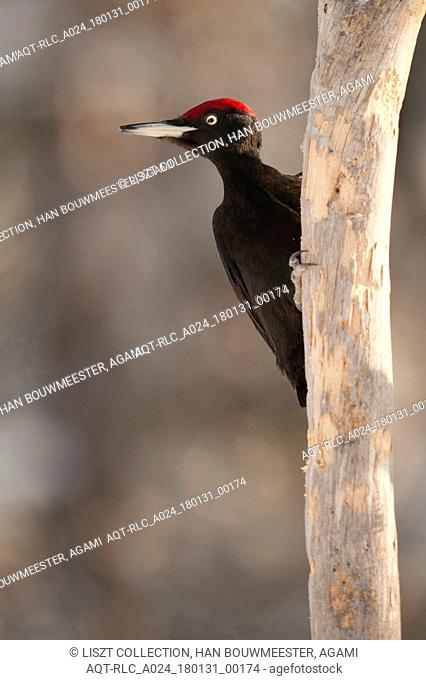 Black Woodpecker on tree trunk, Black Woodpecker, Dryocopus martius