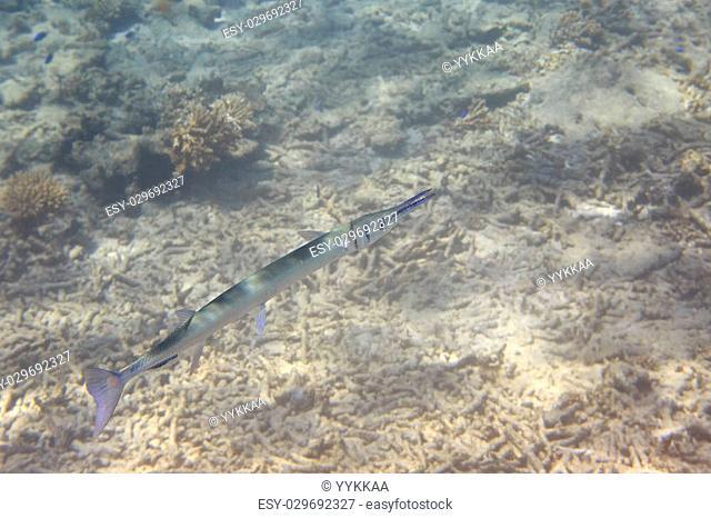 Garfish or sea needle in Indian Ocean near the Seychelles
