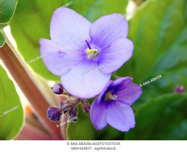 Violets (Viola sp.)