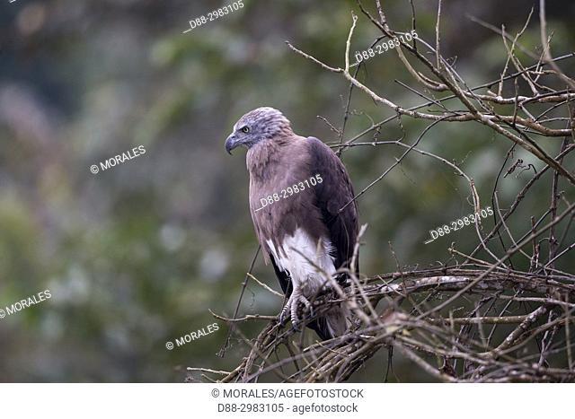 India, State of Assam, Kaziranga National Park, . Grey-Headed Fish Eagle (Ichthyophaga ichthyaetus)