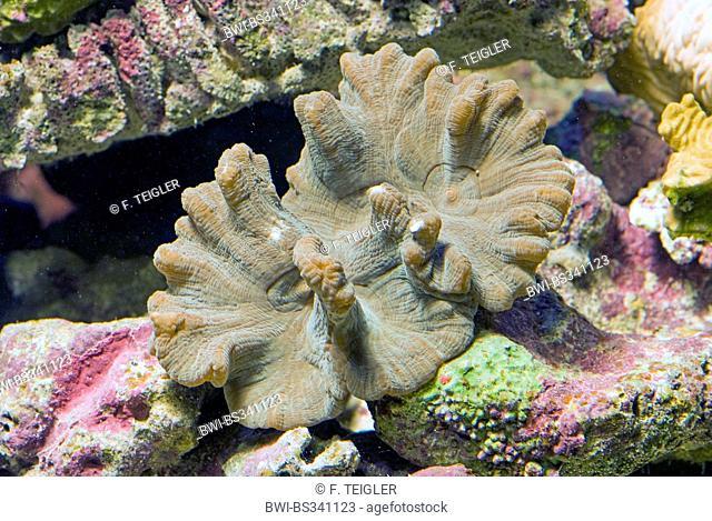 Leaf Coral (Pectinia alcicornis), high angle view