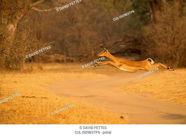 Female impala (Aepyceros melampus) jumping mid air over dirt track, Mana Pools National Park, Zimbabwe