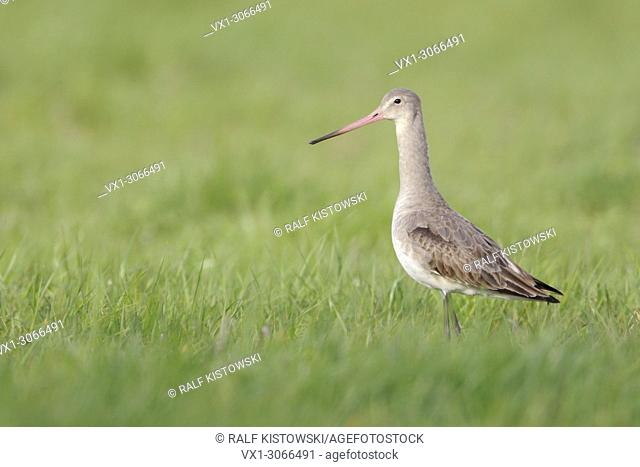 Black-tailed Godwit ( Limosa limosa) pale plumage, rose bill, stands in an extensive meadow, looks alert, wildlife, Europe. .