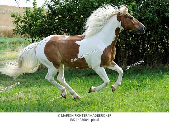 Galloping horse, Pinto, chestnut tobiano