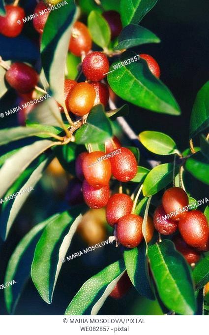 Goumi Fruits. Elaeagnus multiflora. June 2005. Maryland, USA