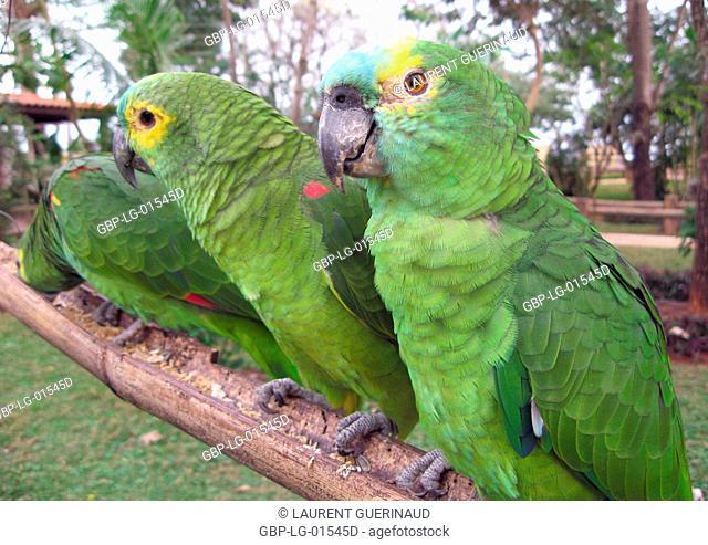 Parrot, Cabeceira do Prata, Farm, Rio da Prata, Bonito, Mato Grosso do Sul, Brazil