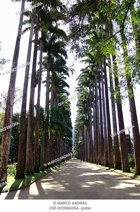 rio de janeiro rj natural palm trees along the bothanical park way