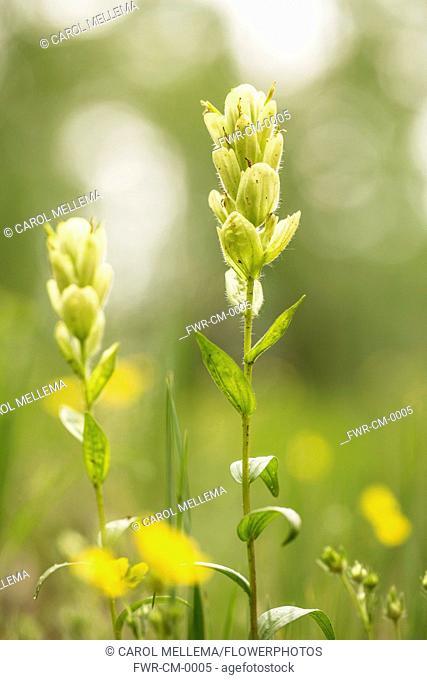 Indian paintbrush, Castilleja linariifolia. Flowers comprising of cream bracts and sepals translucent in sunshine