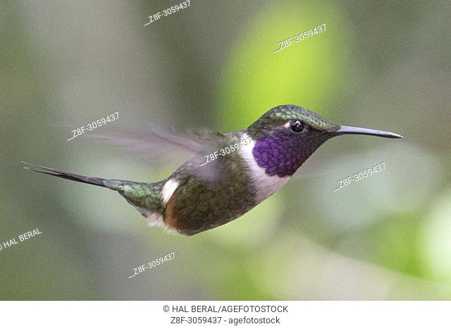 Purple-Throated Woodstar Hummingbird male flying (Calliphlox mitchelii). Ecuador